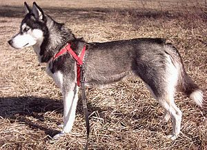300px-husky