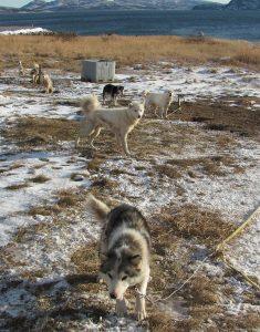 labradorhuskies